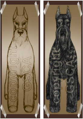 Giant Schnauzer Standing Dog Initial Draft and Final Drawing