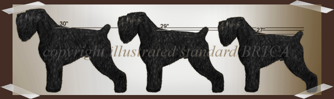 Black Russian Terrier Size Comparison in the Measured Dog