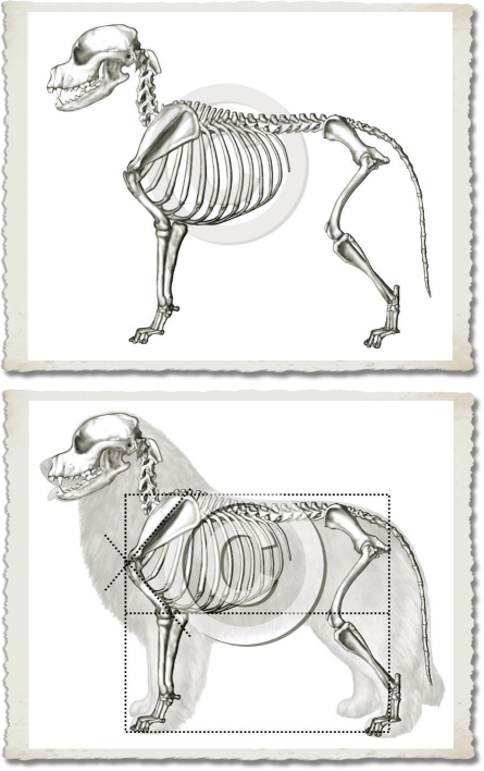Structure in the Leonberger Illustrated