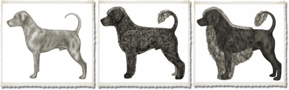 Portuguese Water Dog Overlays of Coat to Body Structure - From PWDcA Illustrated Breed Standard