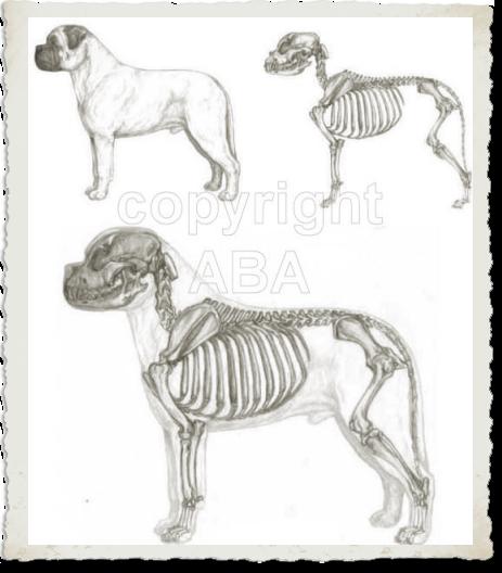 Bullmastiff Structure from American Bullmastiff Illustrated Breed Standard