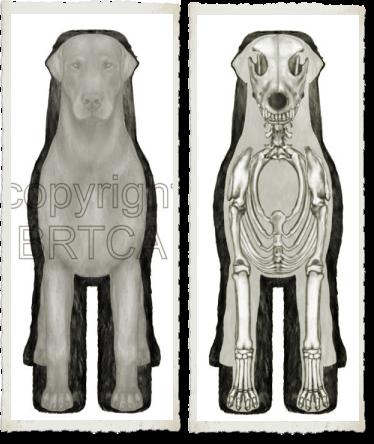 BRTCA Structure Illustrated - Coat, body, andSkeleton Overlays