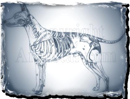 AMERICAN HAIRLESS TERRIER Illustrated Standard- Skeletal Overlay