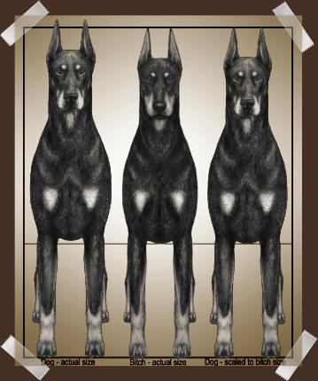 Doberman Size Comparison - DPCC Illustrated Standard