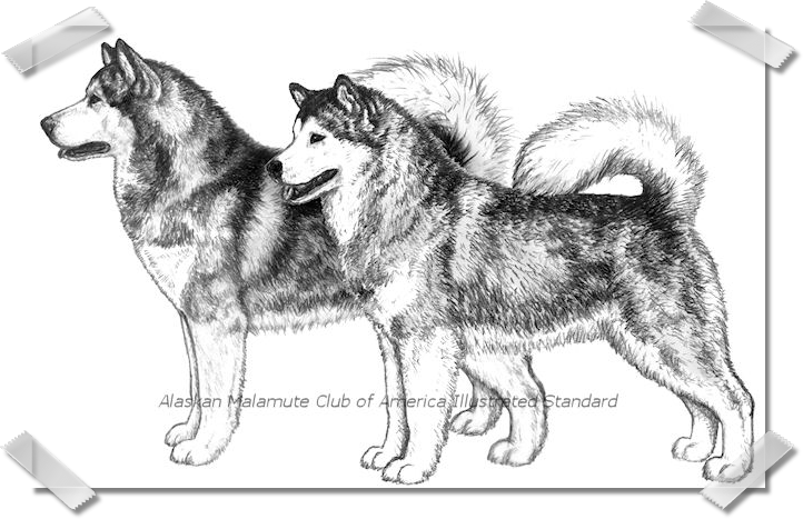 ILLUSTRATED STANDARD PENCIL DRAWINGS WITH SHADED OVERLAY -   ALASKAN MALAMUTE CLUB OF AMERICA -