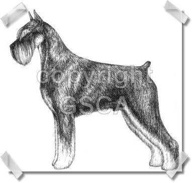Pen & Ink Drawing of Pepper and Salt Dog - GSCA Illustrated Standard
