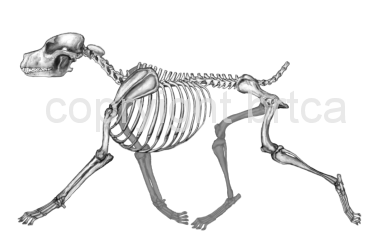 Black Russian Terrier - Skeleton of Moving dog for the Illustrated Breed Standard