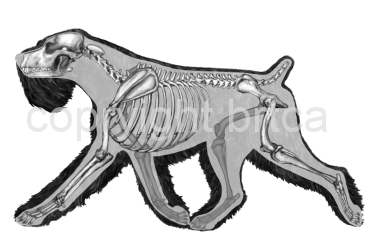 Overlay of Skeleton and Body in the Black Russian Terrier Moving dog - BRTCA