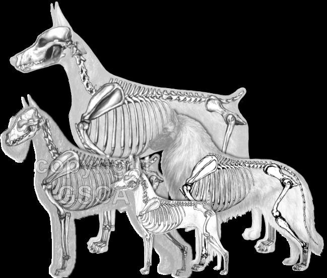 Illustrated Standard Drawings - Skeletal Overlays in the Giant Schnauzer, Doberman Pinscher, Belgian Tervuren, and Toy fox Terrier