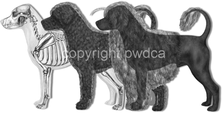 Overlays of Coat Types and Skeleton in the Portuguese Water Dog - From the PWDCA Illustrated Breed Standard