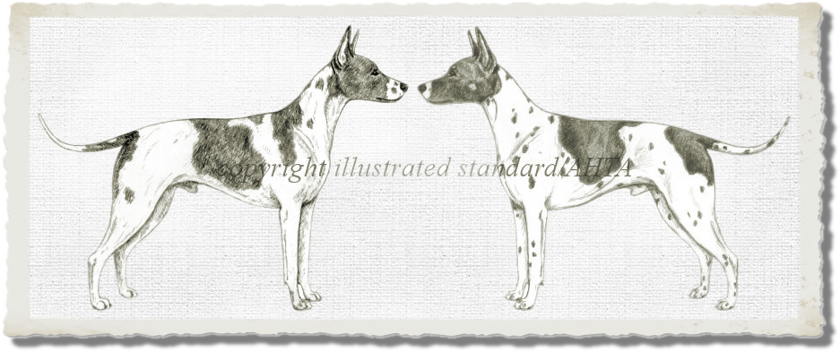 Visual Effects on the Body of the American Hairless Terrier. Both dogs are the same, but may appear different because of the shape and placement of markings, and the direction in which they face.