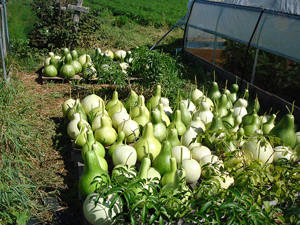 Gourds drying after harvest.