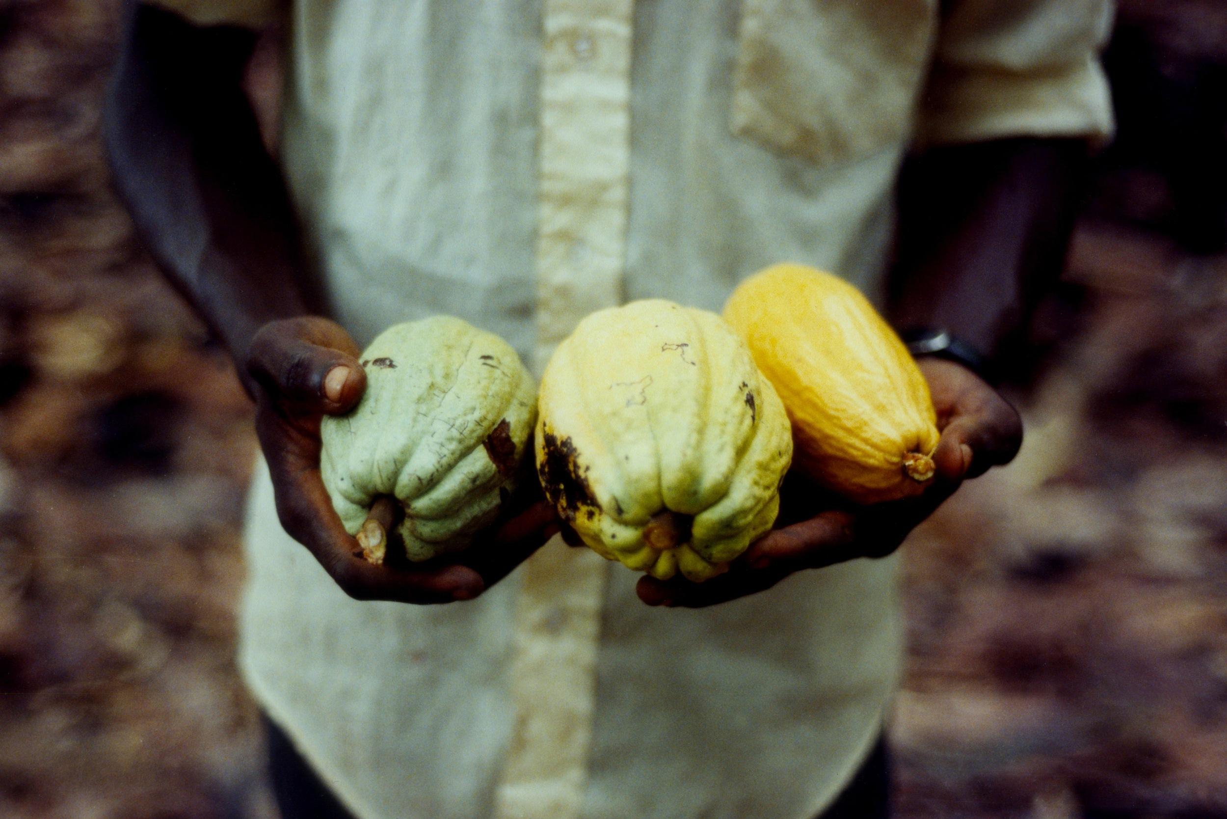 Ripe cacao pods, Ghana 2004