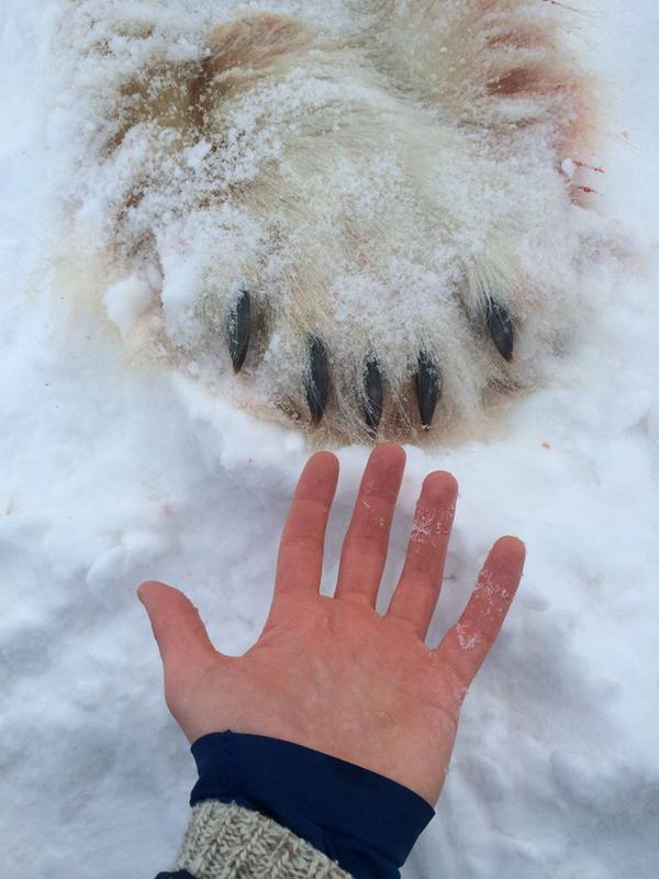 Polar bear high-five, Postville