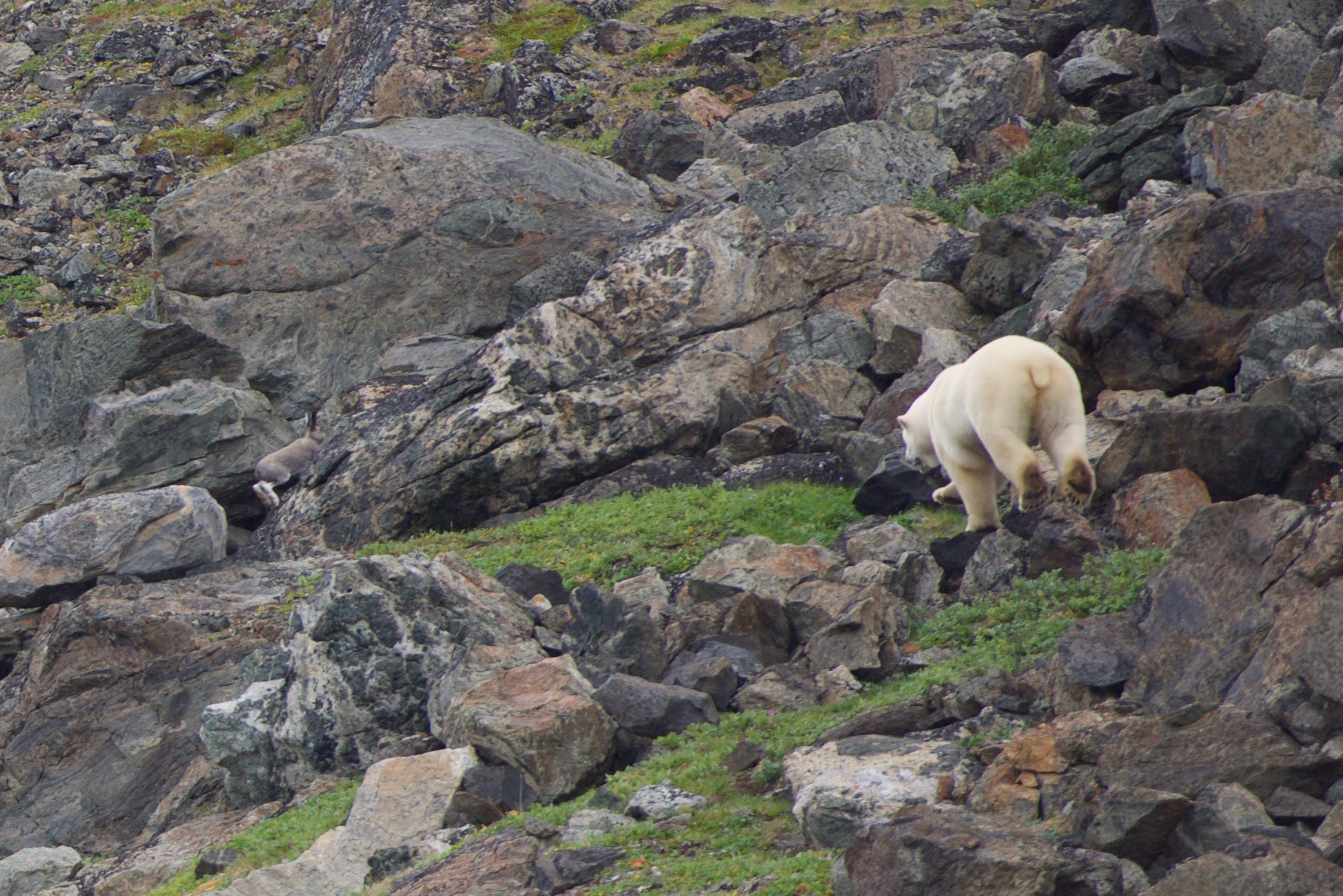 Nanook (polar bear) chasing ukalik (arctic hare) on Jens Haven Island, Nunatsiavut (Andrew Bresnahan 2015)