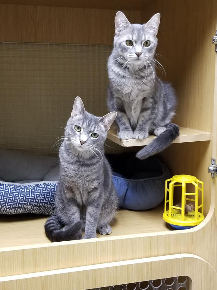 meet Betty - This pair of beauties came to us in January 2018.  Benjamin Button has been adopted but Betty (on the right) is still waiting for her loving home.  While Betty is a bit shy, she is very sweet, loving and playful once you get to know her.  Betty is currently in foster care to give her some freedom from being cooped up in a habitat.  A visit with Betty can be arranged by an appointment.  Please contact us with any questions you may have.Born February 2017,FIV/FELV negative,Vaccinated,Spayed, andMicrochipped.