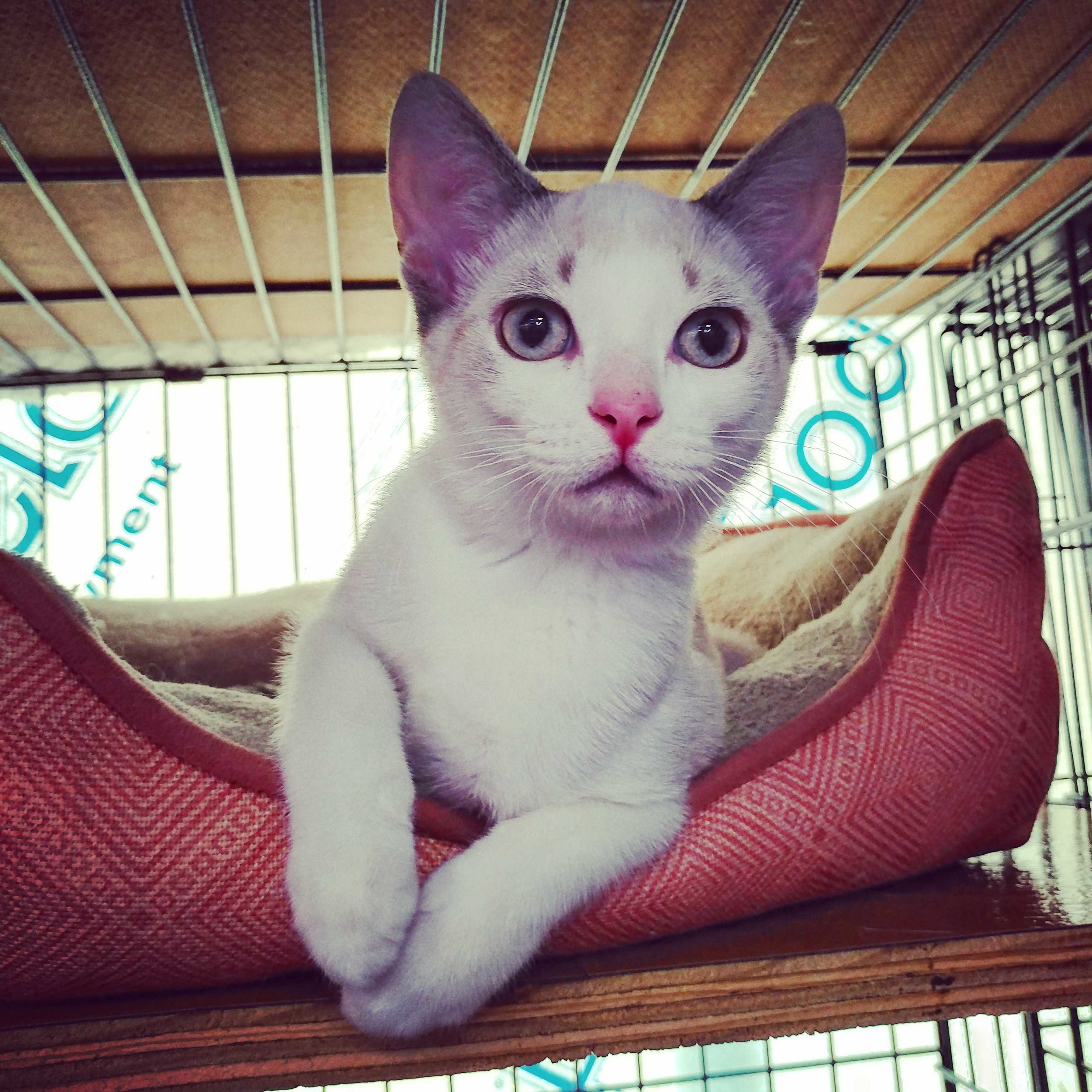 all about charlotte - Charlotte is a very sweet kitten who loves to be petted and play with her siblings.  She, her four siblings; Nellie, Fern, Itsie, Bitsie, and her mother Grace were found as friendly cats dumped at a feral colony site in Huntington, NY.  The kind feeder Amy called us for assistance.  We picked them up, provided medical care and fostered them all until they were ready for adoption.  Bitsie and Fern has been adopted already and now we'd like to find loving homes for the rest of the family.Charlotte can be visited at our habitats at Doggie Don's in East Northport.Born April 2019,Female,FIV/FELV negative,VaccinatedSpayed, andMicrochipped.