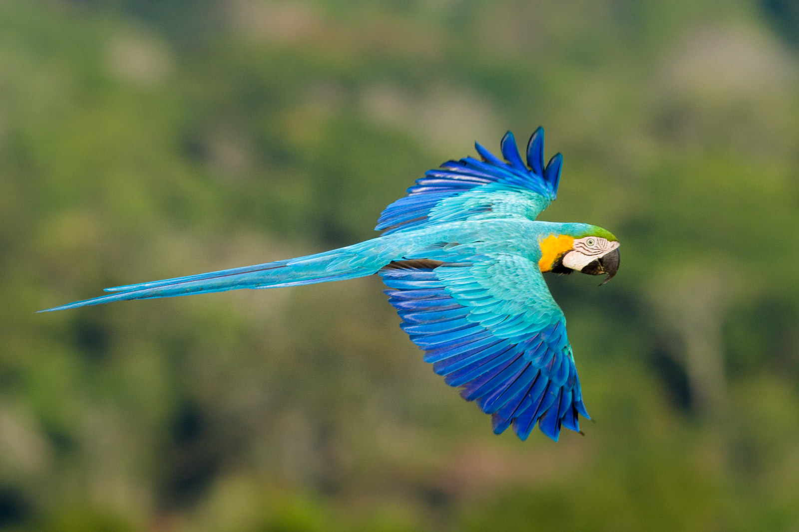 CL-Blue-and-Gold Macaw-Jorge Lopes.jpg