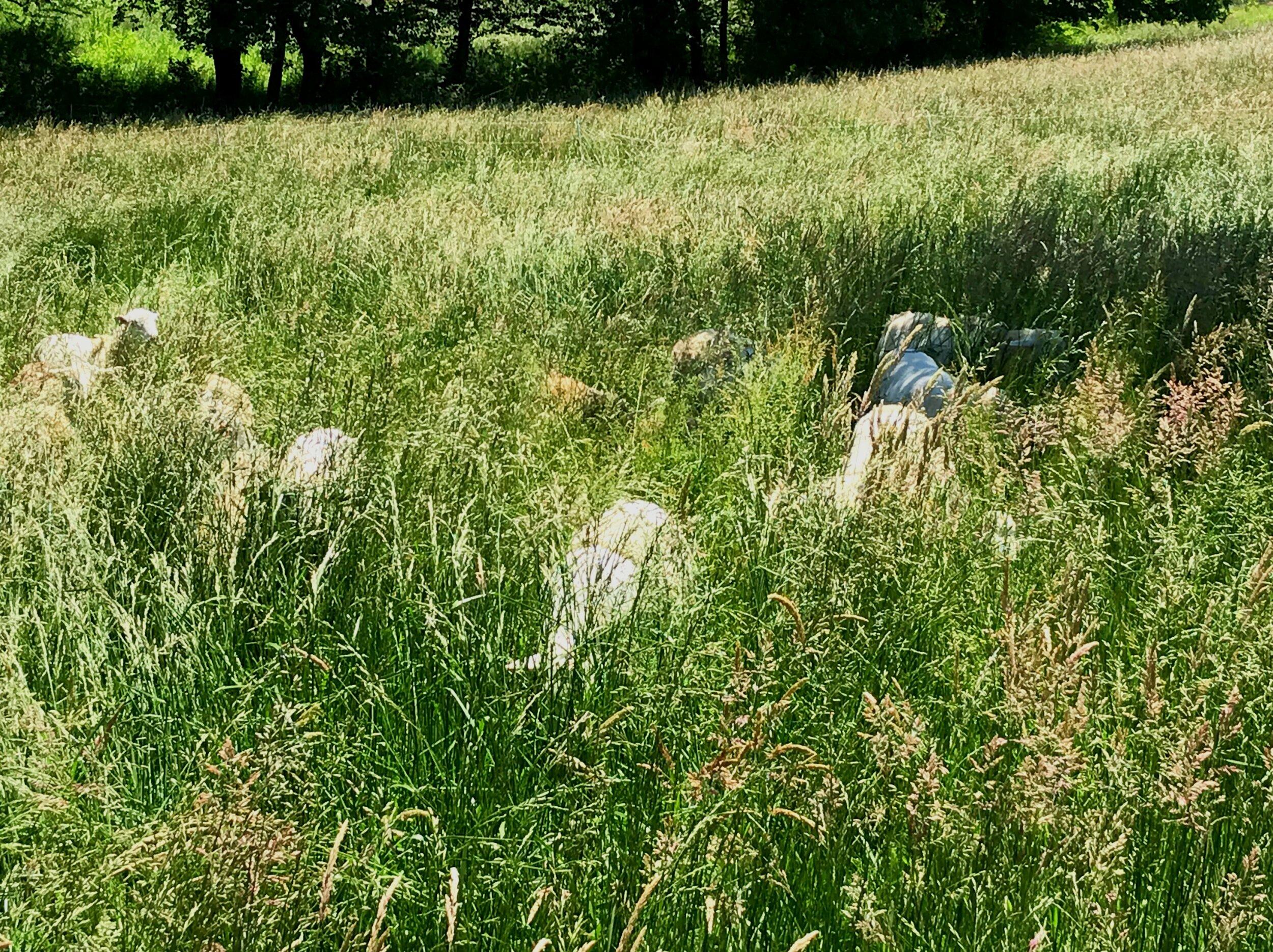 sheep+in+grass.jpg