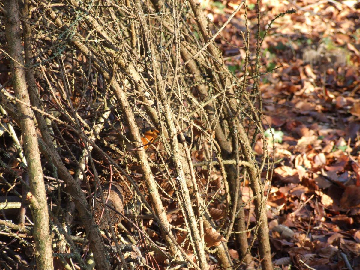 A robin observes from inside a mound