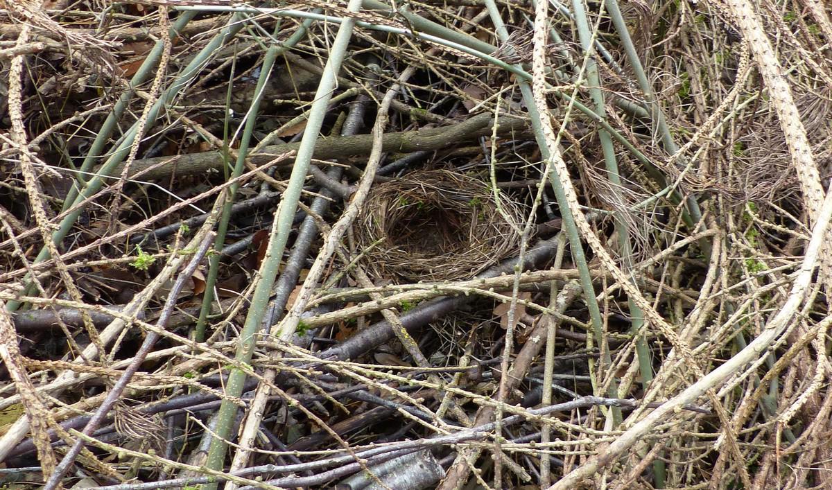 blackbird-nest-big.jpg