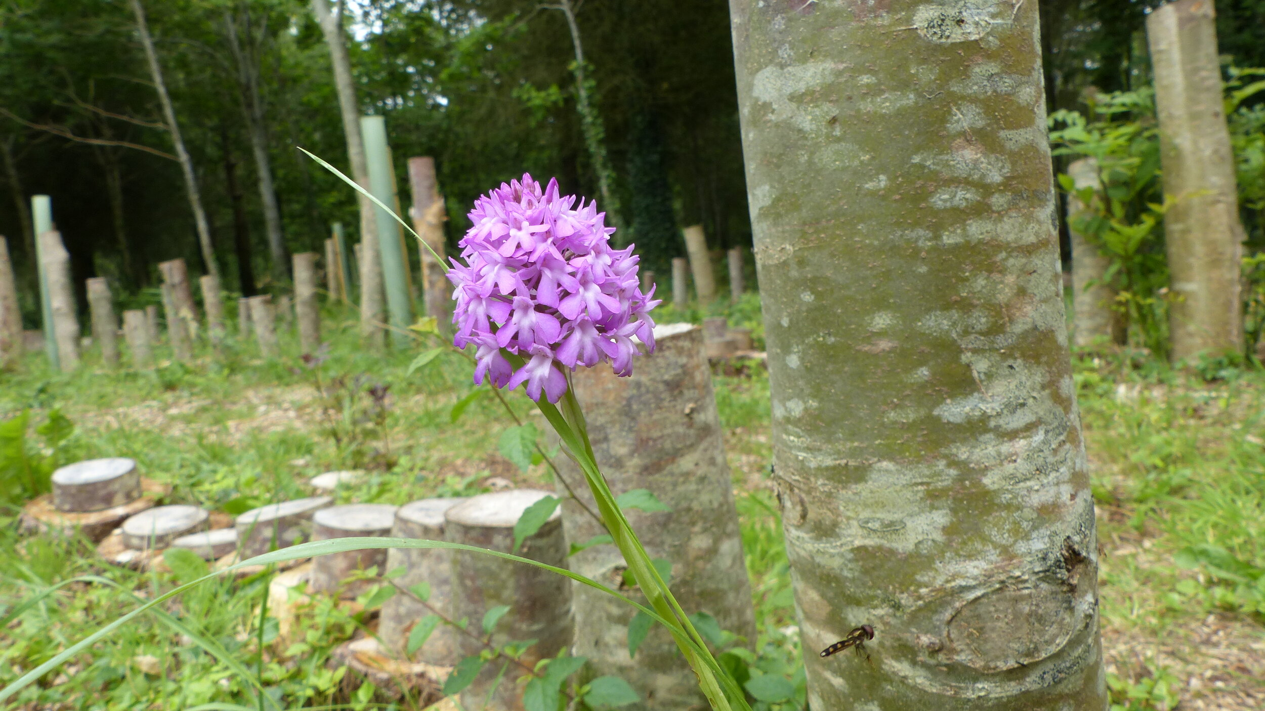 Pyramidal orchid: Anacamptis pyramidalis - flowering in the labyrinth.