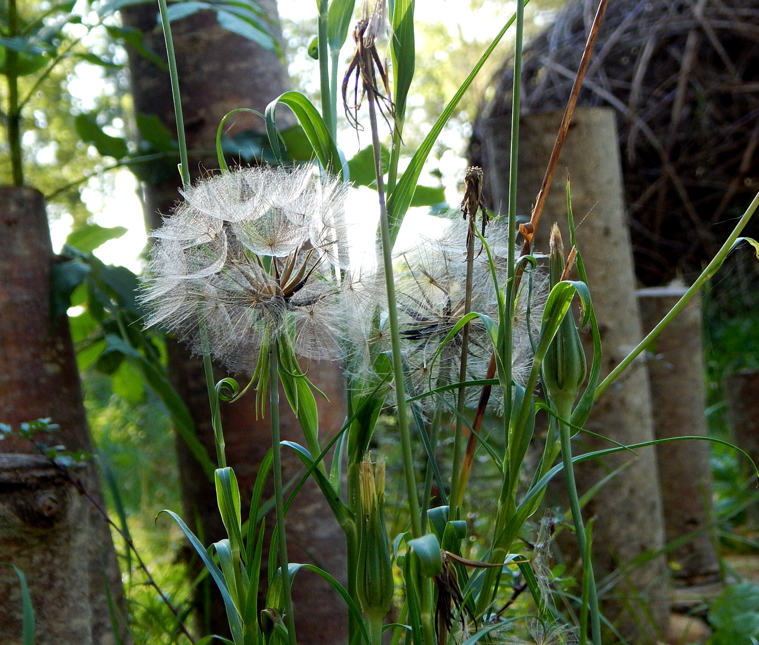 Goat's beard (Tragopogon pratensis) at the entrance to the labyrinth.