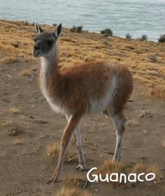 Guanaco 2.jpg