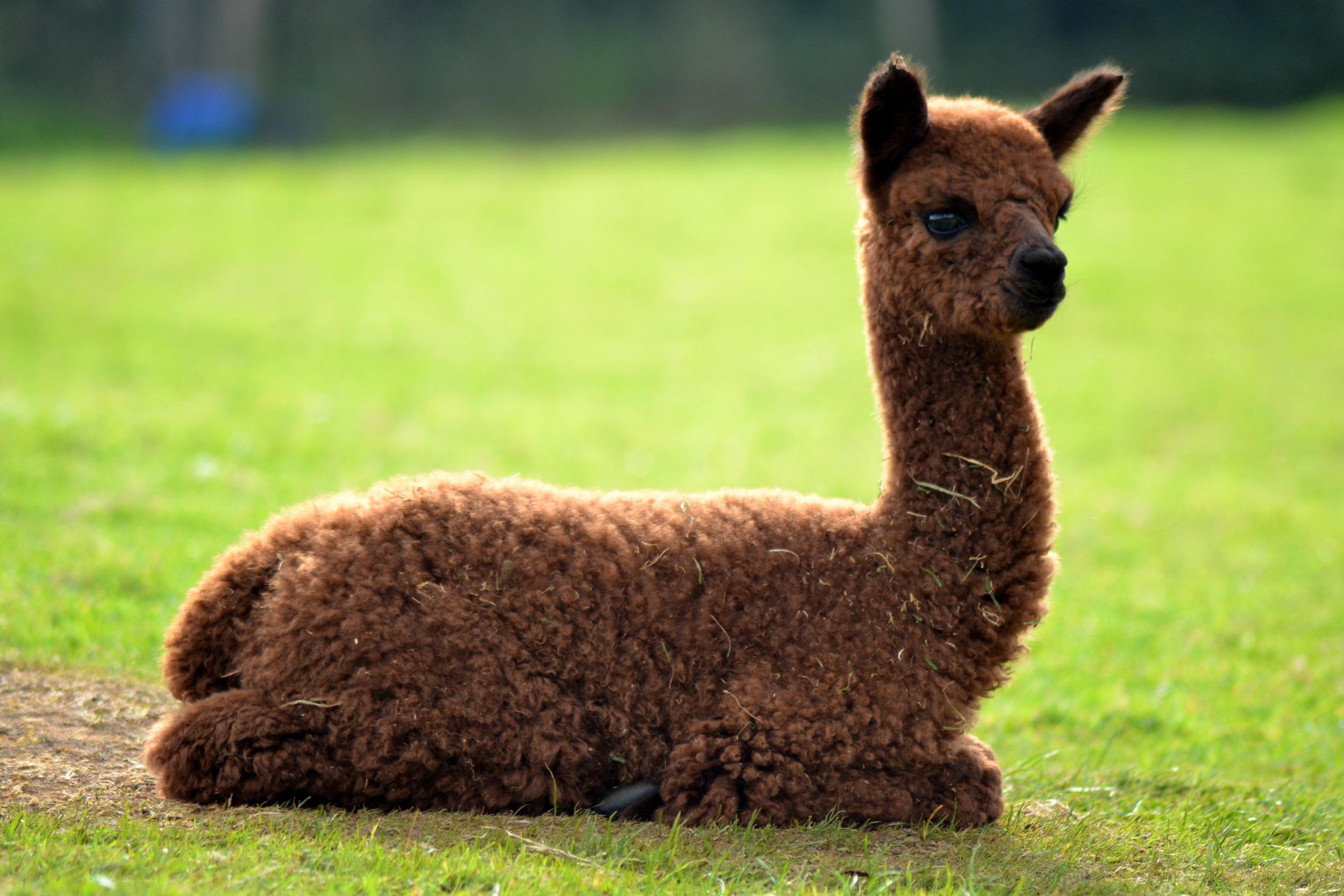 Olympia with beautiful cria fleece