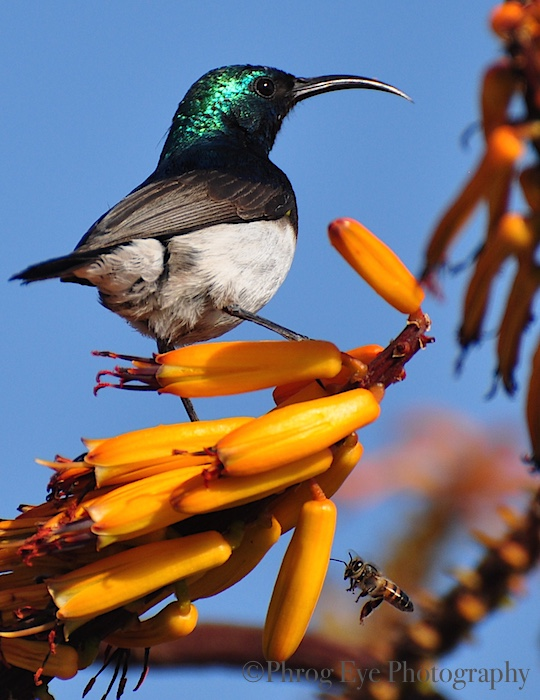 8. South African Sun Bird and Bee.jpg
