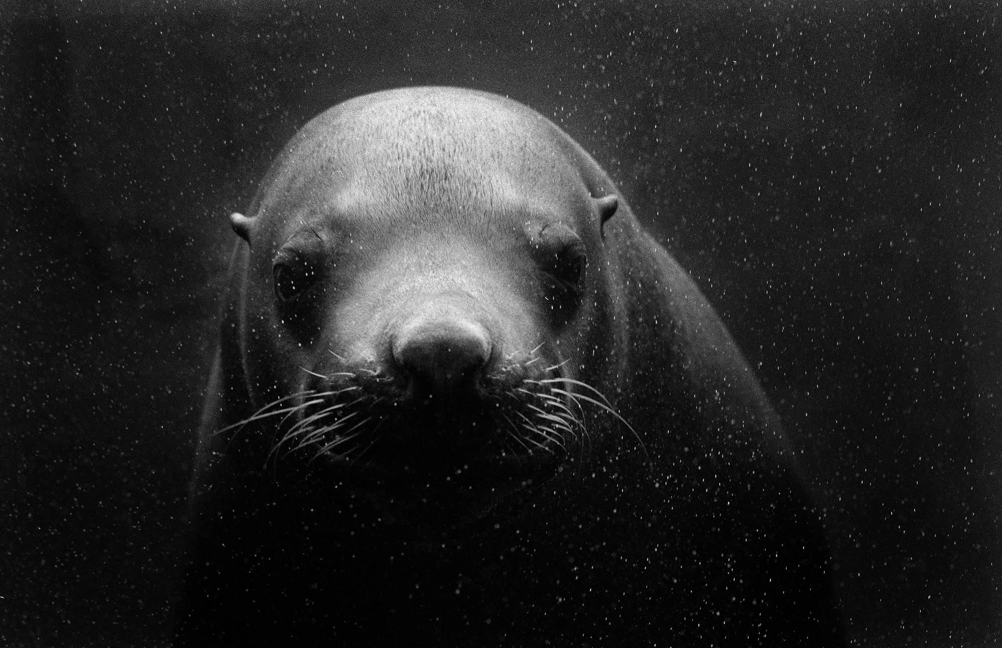 Stellar Sea Lion, Seward, Alaska 2001  Anchorage Museum Collection