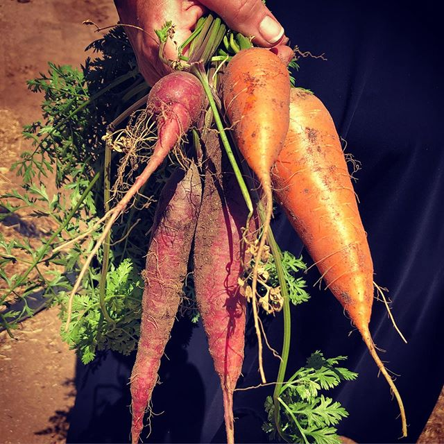 Amazing carrots, both orange and purple, plucked right from the organic sustainable garden at Rancho La Puerta, in Tecate, Baja California, Mexico. We make fermented kimchi-kraut with these!  @rancholapuerta @lacocinaquecanta @deniseadrianaroa @bajatestkitchentours @bajatestkitchen @ediblesd #carrots #organic #sustainable #garden #organicgardening #organiccarrots #purplecarrots #rancholapuerta #lacocinaquecanta #bajatestkitchentours #bajatestkitchen #ediblesd #ediblebaja #tecate #tecatemexico #bajacalifornia #baja #mexico #mexicoeats