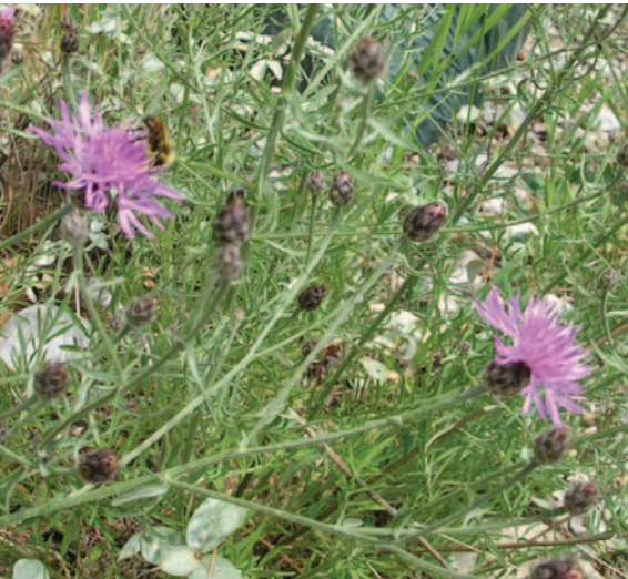 Spotted Knapweed. Photo from  abinvasives.ca
