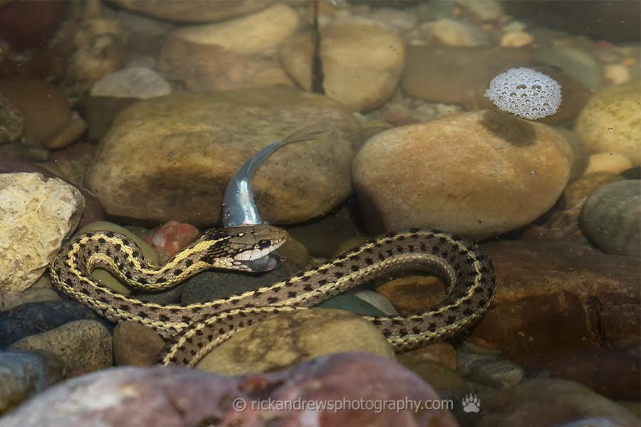Snakes smell and hear ... like us ... only they smell through their tongues and have no ears!