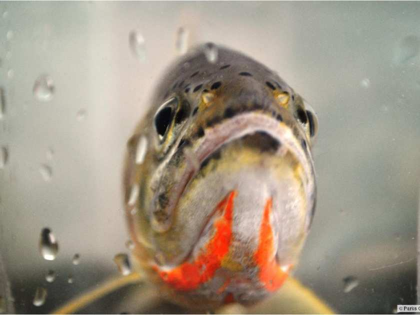 Photo Courtesy of Calgary Herald - A Westslope Cutthroat Trout (Shane Petry/Department of Fisheries and Oceans /Herald)