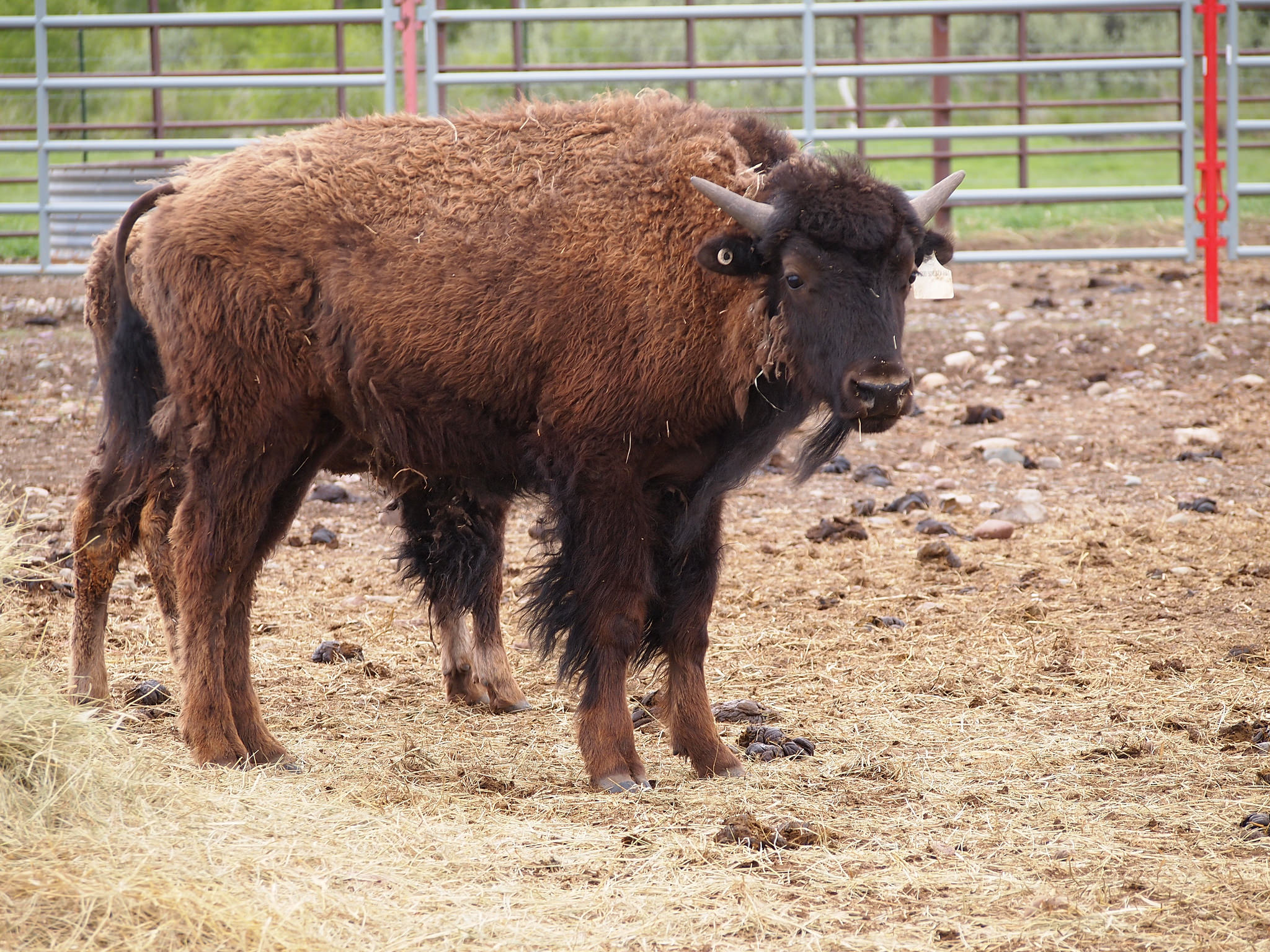 Yearling bison from the Elk Island herd