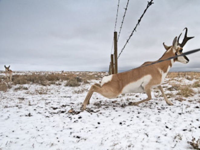 A Pronghorn buck crossing under a modified smooth wired fence.