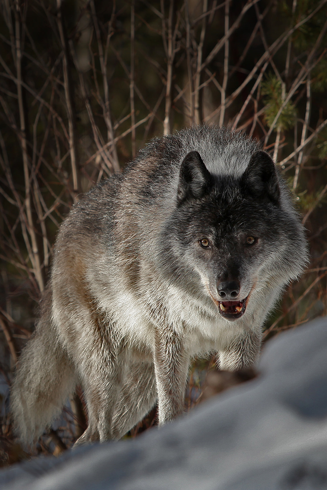 Forever the 'bad guy', we now know that wolves are essential to healthy rivers. How Wolves Change Rivers - YouTube https://www.youtube.com/watch?v=ysa5OBhXz-Q