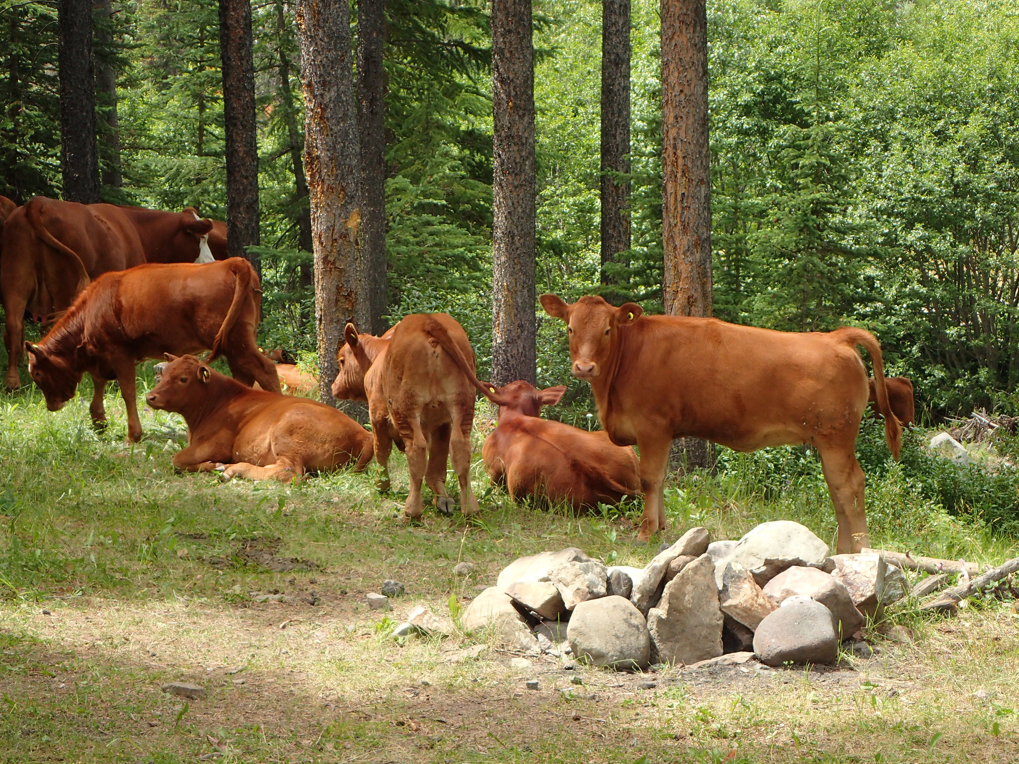 Photo credit: Thomas Porter Cattle grazing next to a random campsite in the Castle.