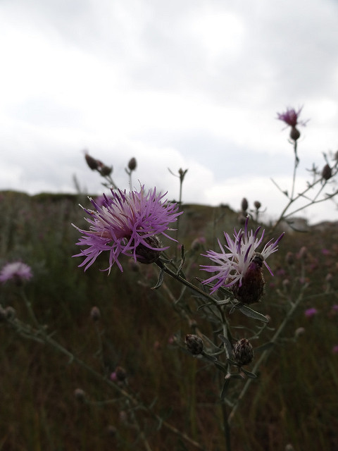 Spotted knapweed can take over large areas of rangeland, replacing higher quality forage, and even produces biochemical compounds that prevent other plants from growing.  [Photo: Leta Pezderic]