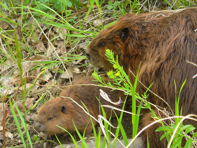 The beaver is our national animal and an amazing watershed engineer! (Photo: Joe MIchielsen)
