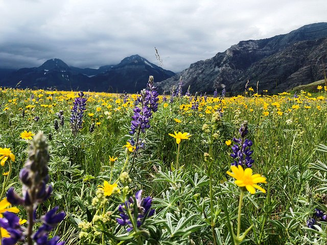 Facing south towards the Prince of Wales hotel, charred mountains in the background are juxtaposed by this year's bright and crisp flowers at the Waterton Wildflower Festival.