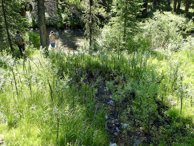The willows planted at the bottom of the largest trail are flourishing thanks in part to the wet soil they were planted in.