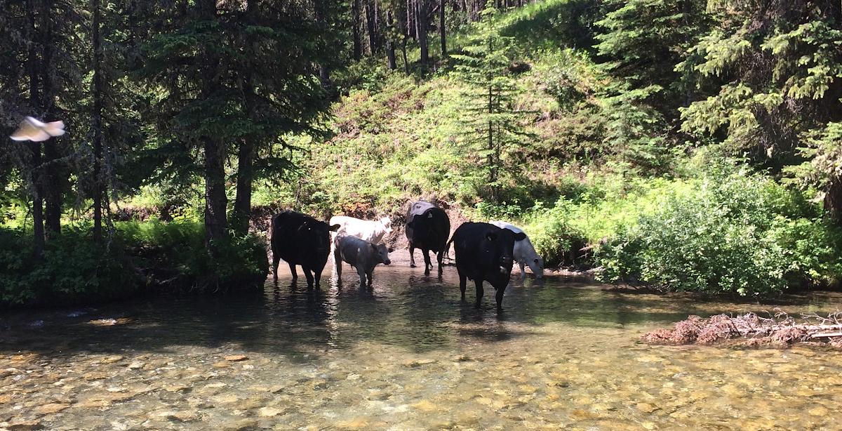 Cattle in Dutch Creek just a bit upstream of Caesar's Flat.