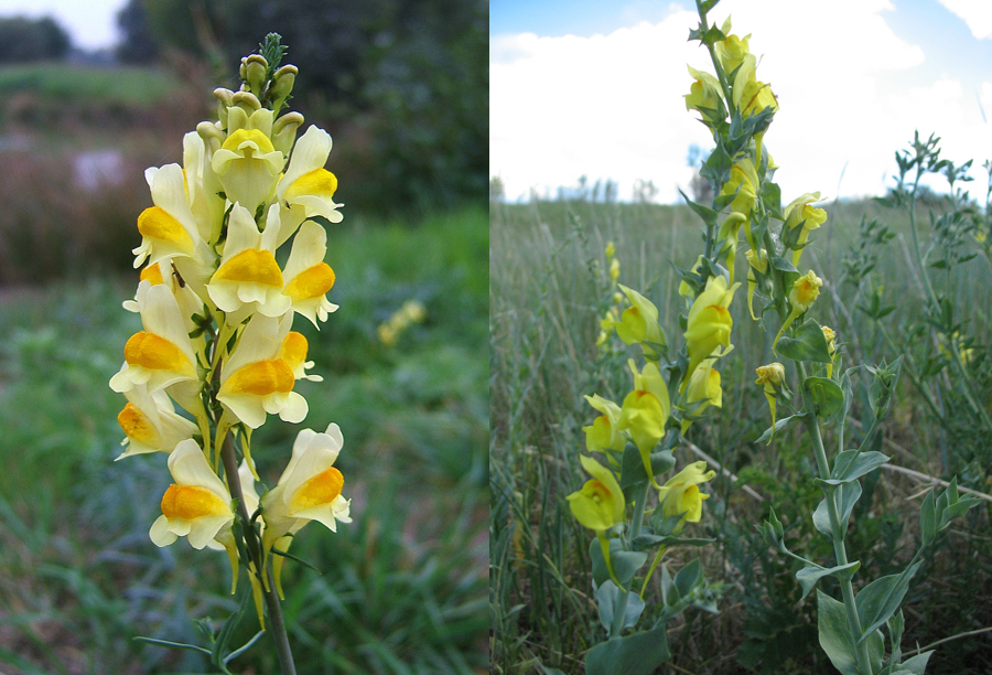 toadflax.png