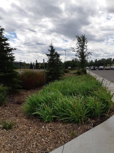 A fully functional bioswale that is not being damaged by foot traffic, at the University of Lethbridge.