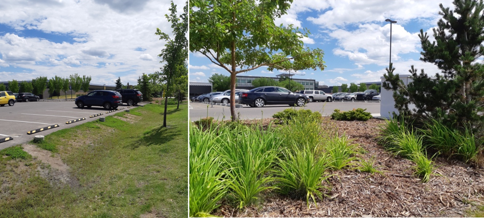 Left: Compaction and soil degradation due to foot traffic. Right: Stunted growth of irises that were planted for phytoremediation. Both are ramifications of consistent foot traffic from people cutting across the bioswale.
