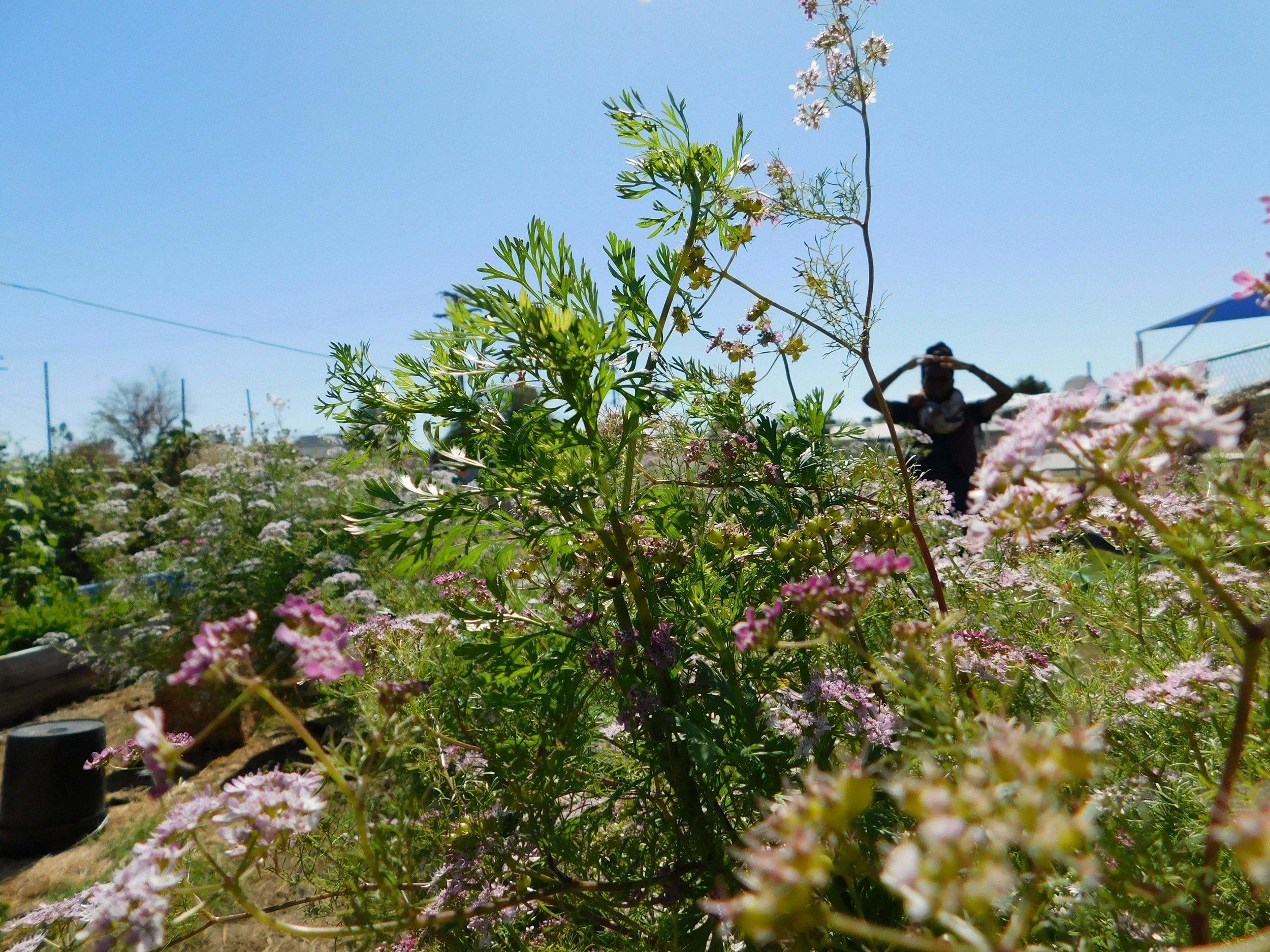 photo cred:  Huey Amaru   Harding Elementary School Garden - El Centro, CA