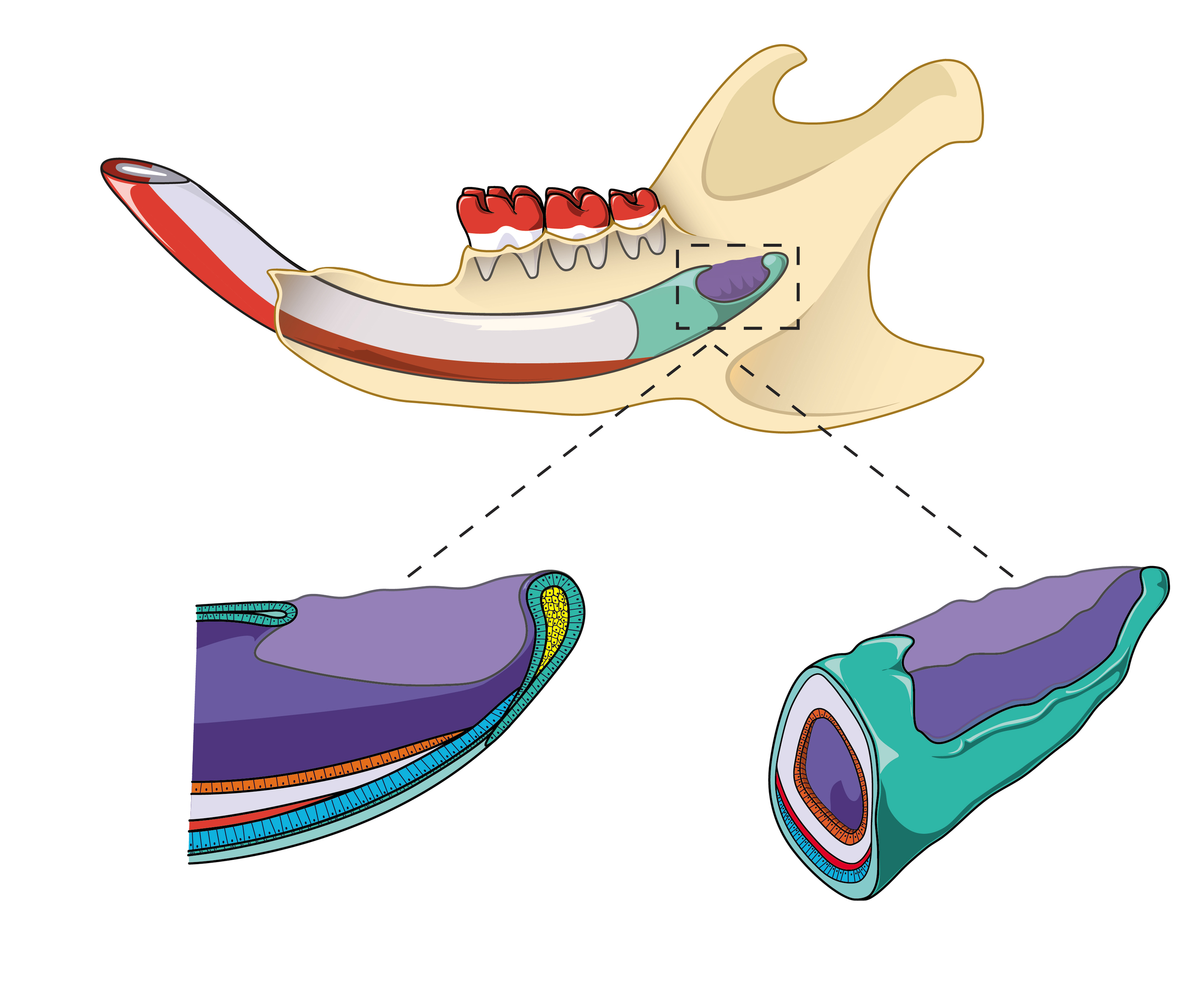 Schematic illustration of a mouse incisor and stem cells