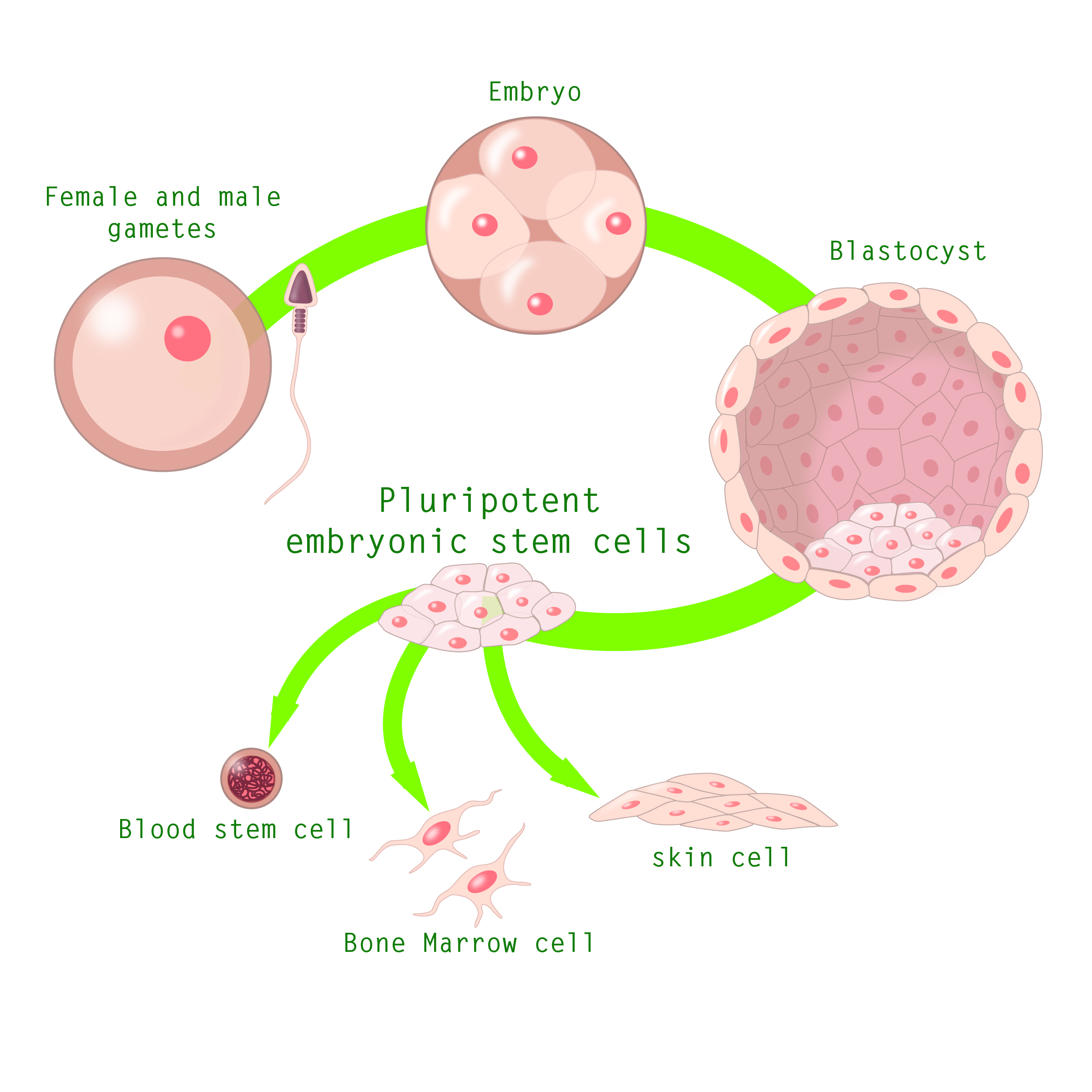 Stem Cell Diagram